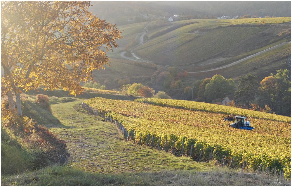 vignes en automne, Cher