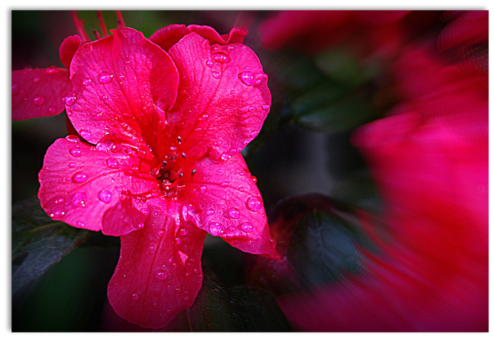 fleur sous la pluie