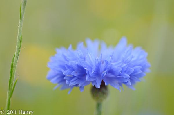 Korenbloem Centaurea cyanus Cornflower