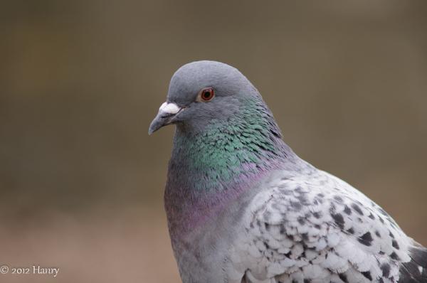 stadsduif Domestic Pigeon