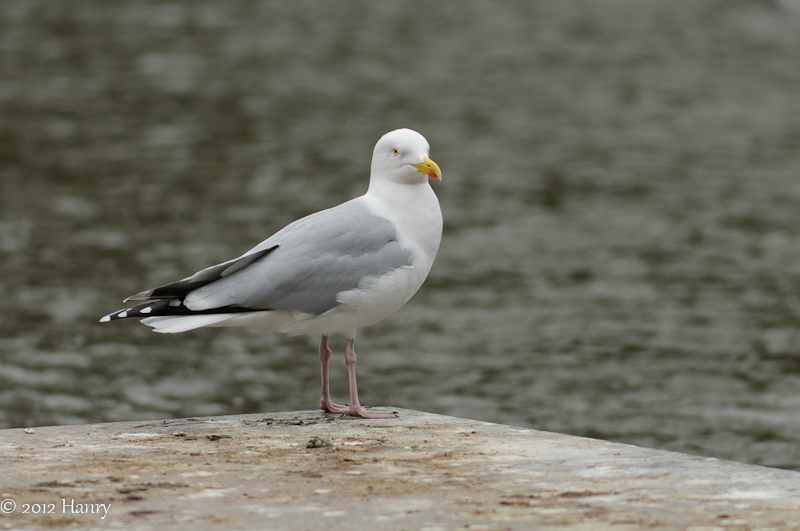Zilvermeeuw Herring Gull