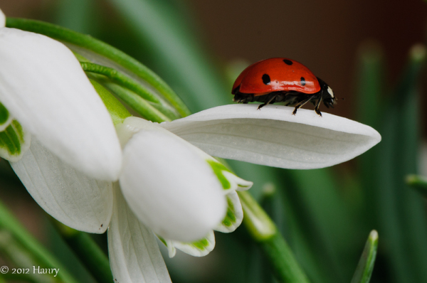 sneeuwklokje snowdrop ladybug lieveheersbeestje