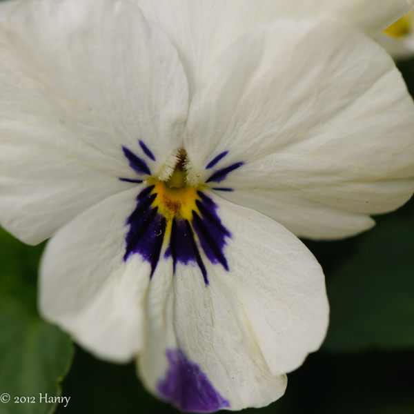 viool lente spring