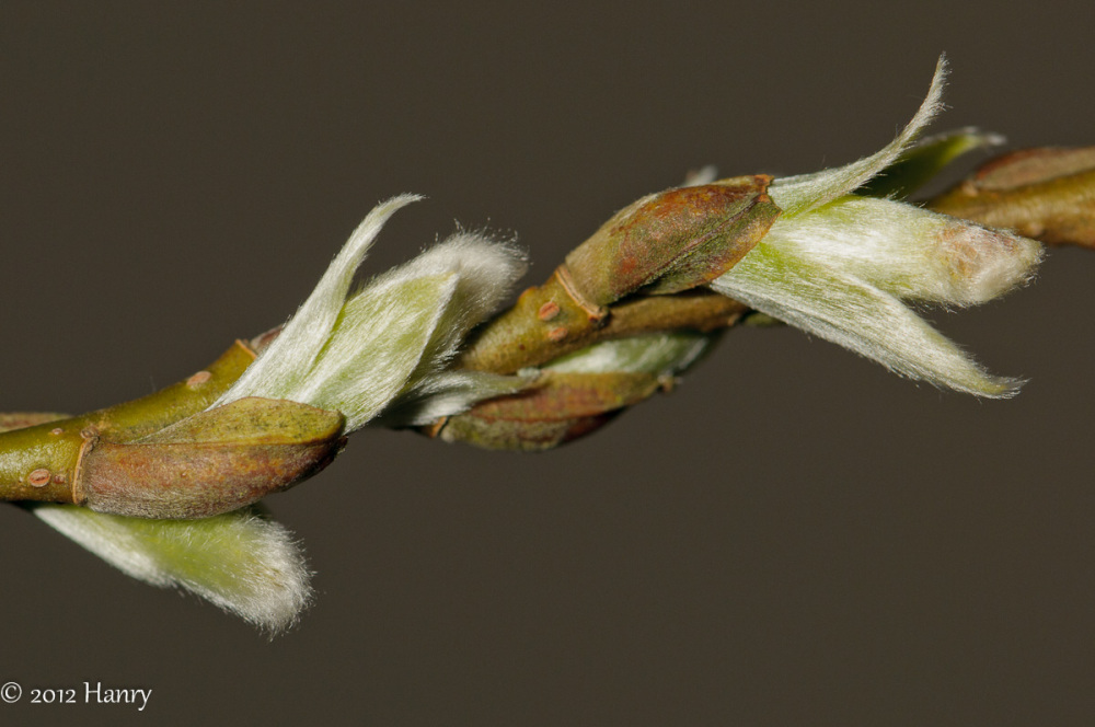 Wilgenkatjes willow Catkins buds