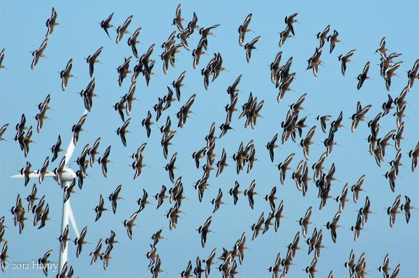 grutto Black-tailed Godwit Limosa limosa