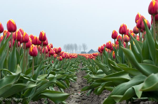 tulp tulip