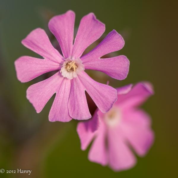 Silene dioica dagkoekoeksbloem roze pink