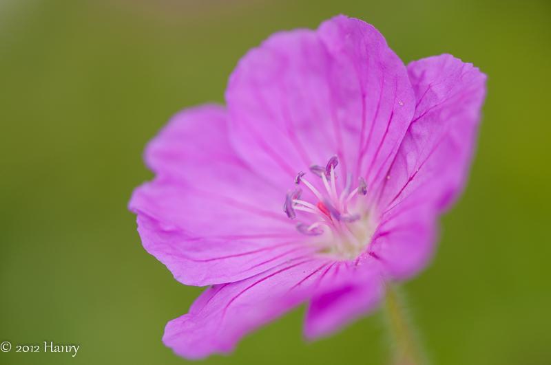 geranium bloedooievaarsbek pink roze