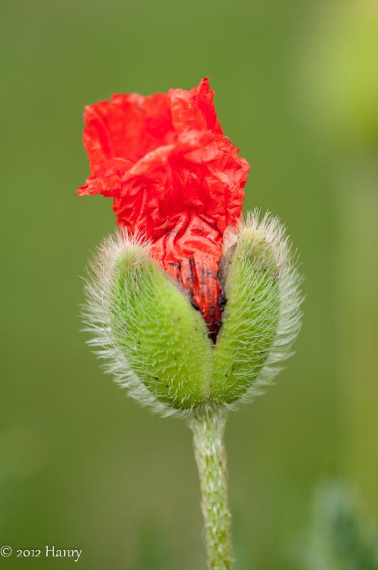papaver poppy bud klaproos
