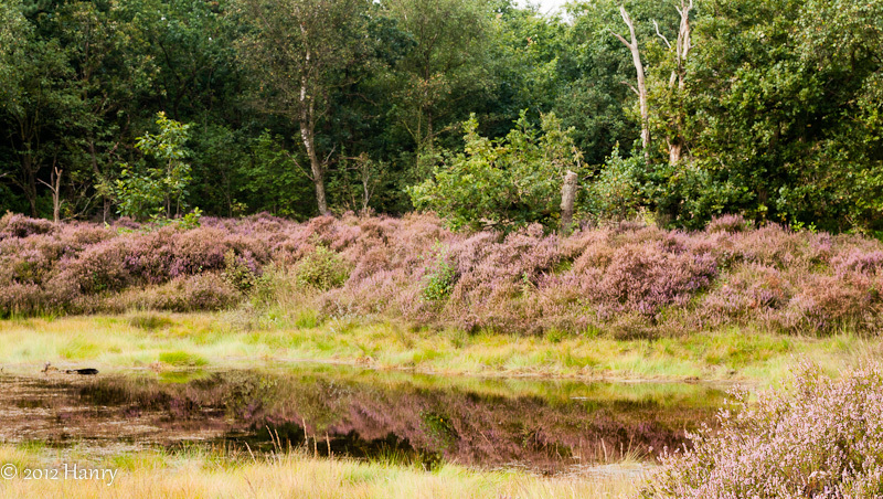 heide reflectie moorland reflection heather