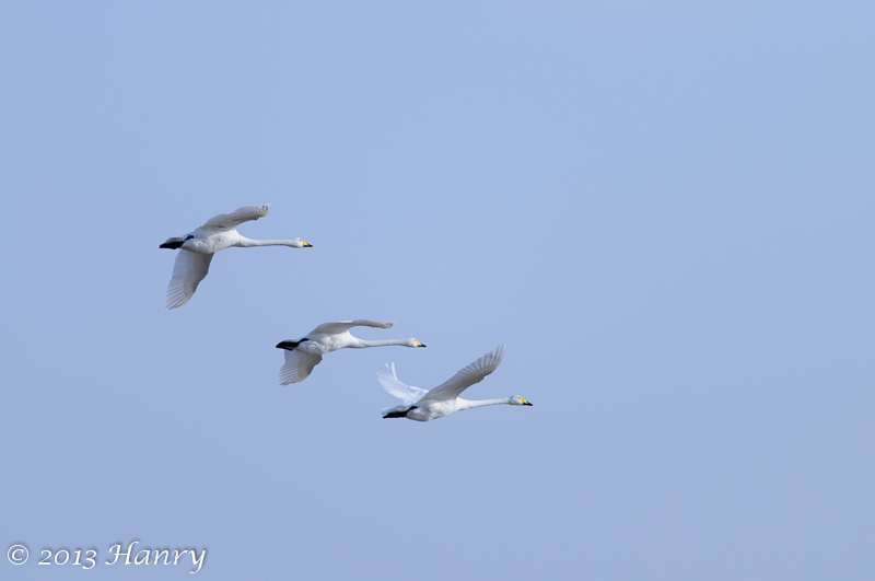 3 drie wilde_zwaan Cygnus cygnus three wild_swan