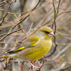European Greenfinch (Carduelis chloris) (Male)