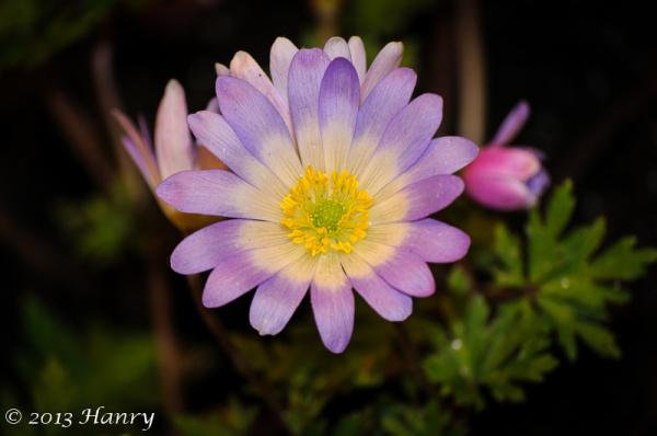 anenmoon Anemone