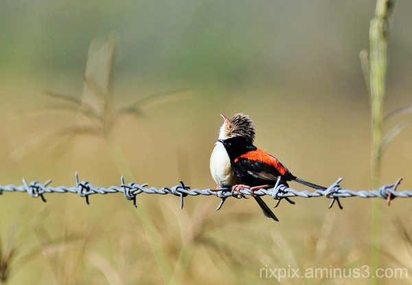 Red-back Fairy-wrens