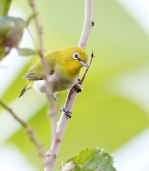 Mountain White-eye