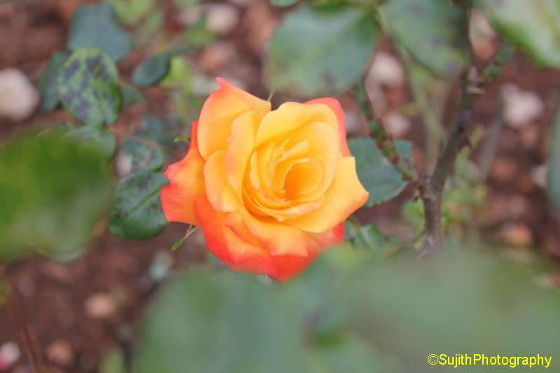 Orange & Yellow Rose