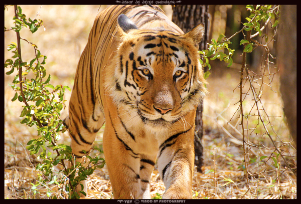 The Majestic Tiger