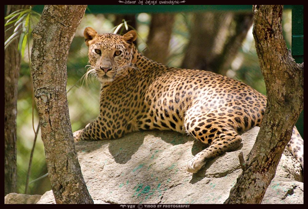 Leopard