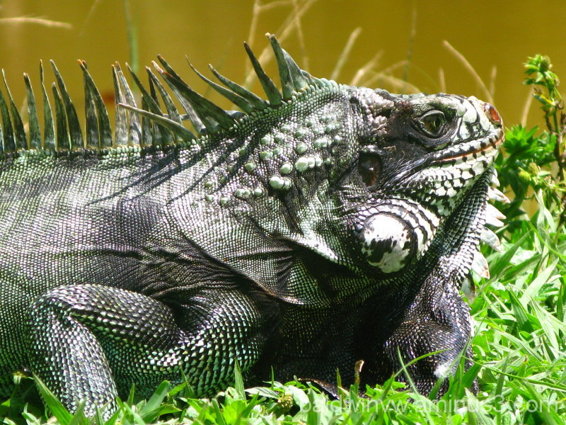 T.  Rex ...