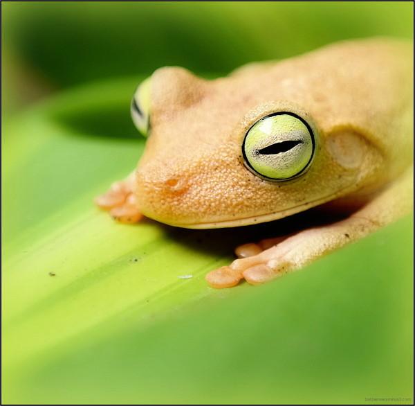 Emerald - eyed ...