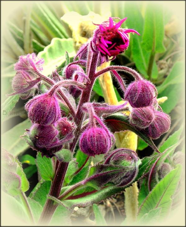 Purple buds ...