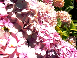"""Hortensias"" = summer"