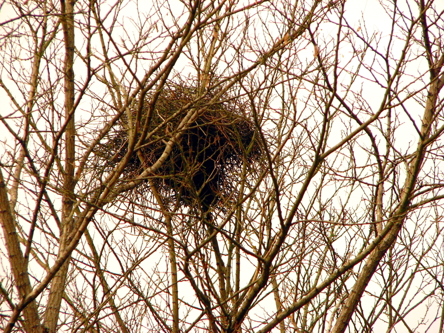 A nest in bare tree