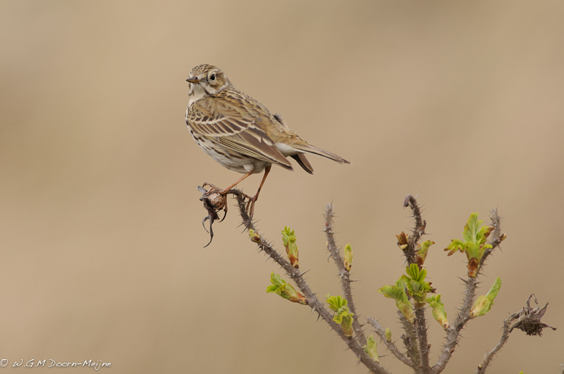 Graspieper Meadow Pipit