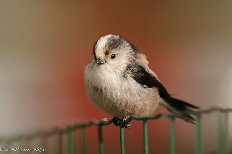 Staartmees Long-tailed Tit