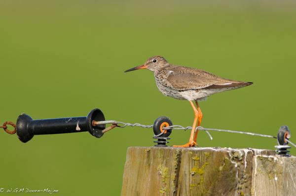 vogel tureluur Redshank