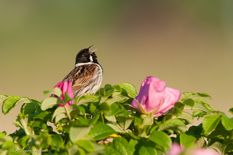 vogel Rietgors Reed Bunting