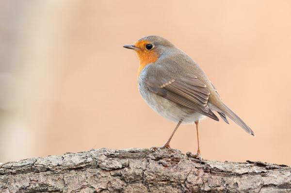 Robin bird roodborst