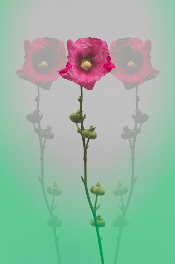 flower, hollyhock