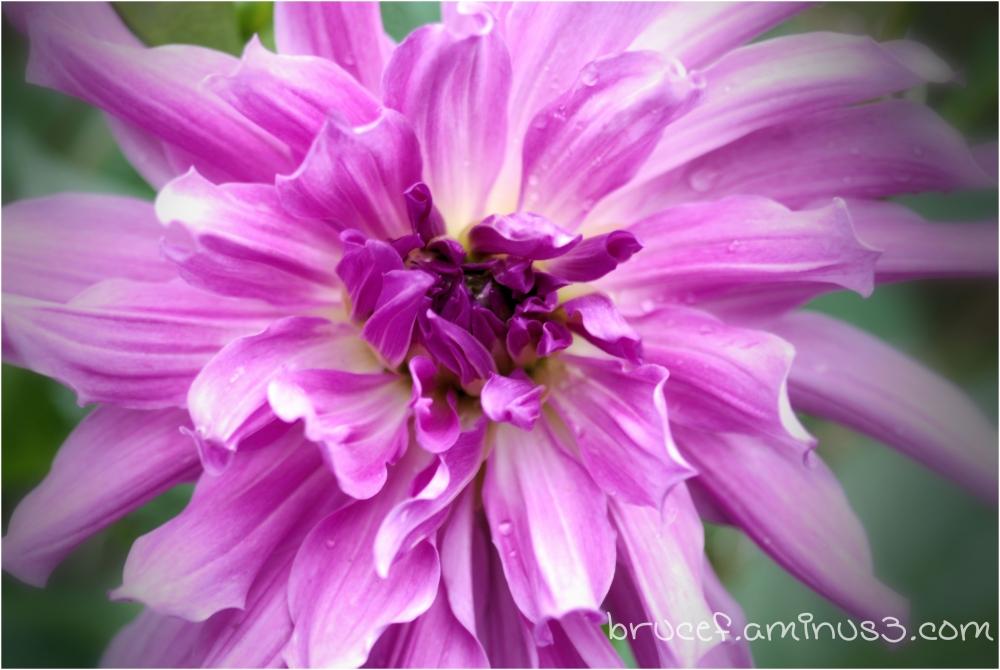 Purple Dahlia from my garden