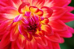 Love the Dahlias