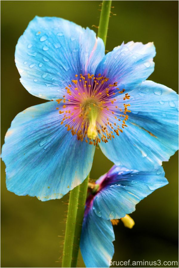 Blue Poppy Time