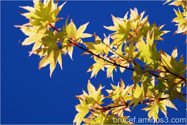 Maple Leaves in the Summer Sun Part 2