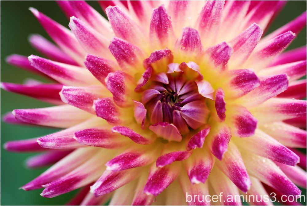 Late summer - time for Dahlias