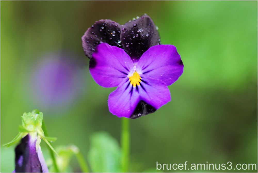 Pansy in the Garden