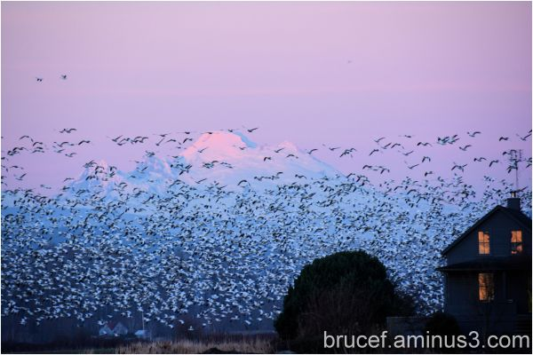 Snow Geese Take Flight