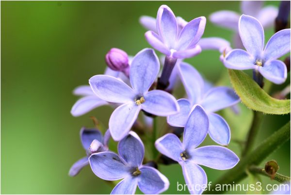 Lilac - A spring favorite   II