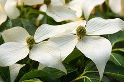 Dogwood at  Rhododendron Species Garden