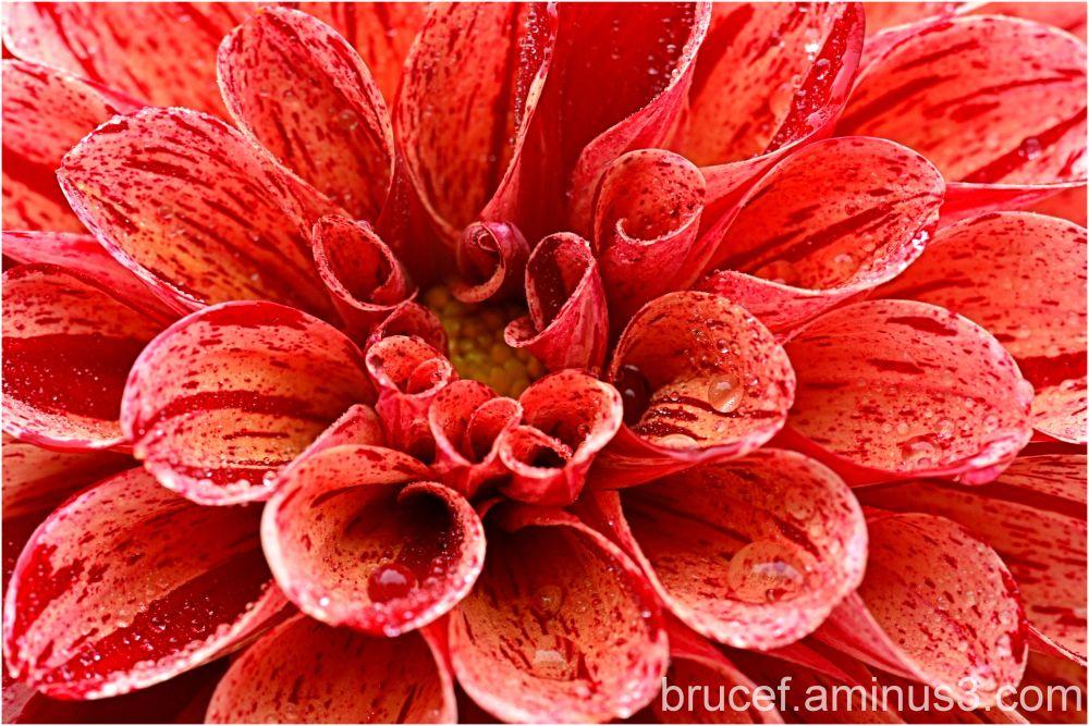 Dahlia IV  Red