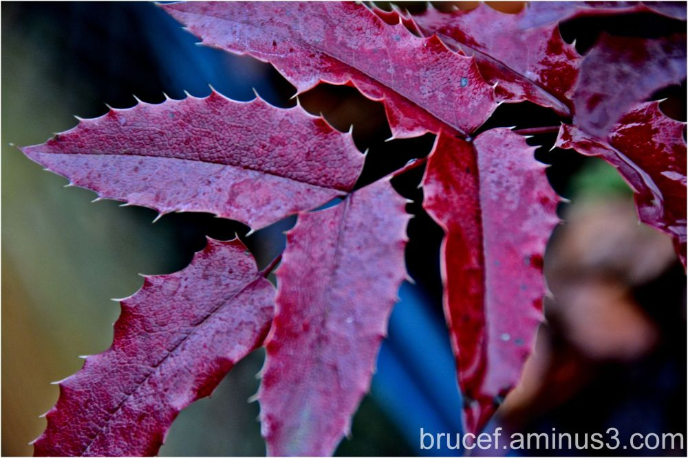 Sharp purplish leaves