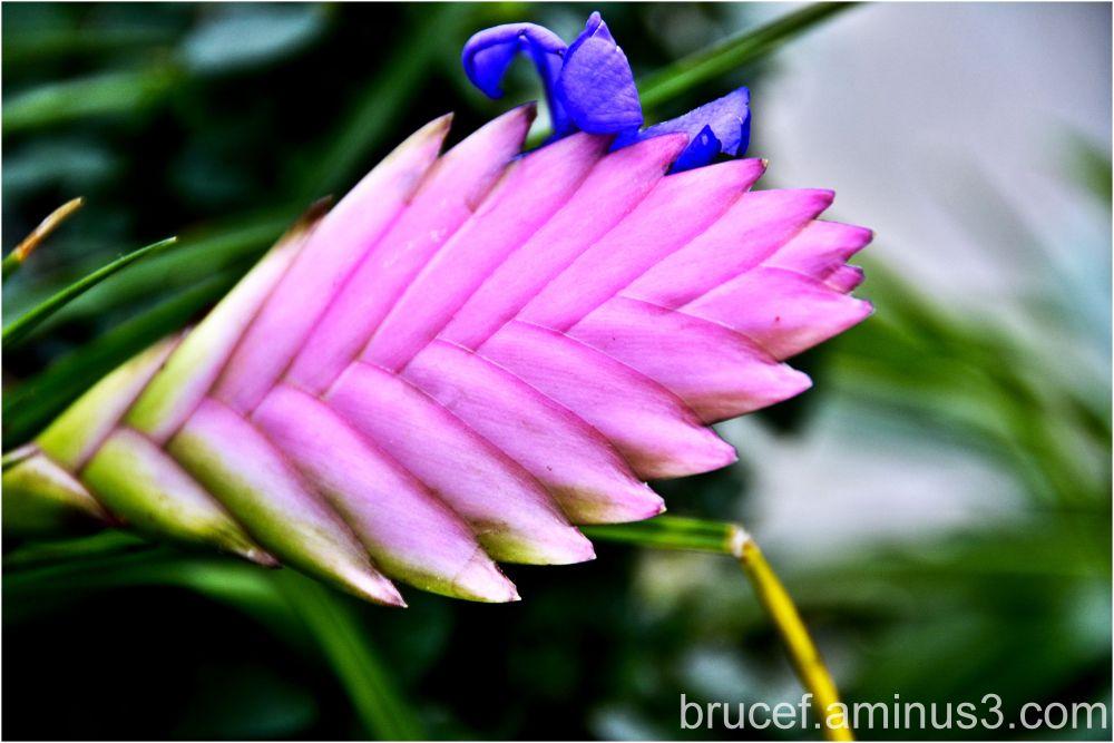 Tillandsia cyanea The flower is the purple