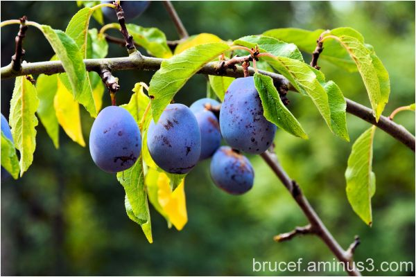 Plums ripening on the tree