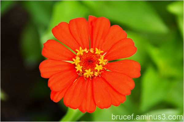 Zinnia Orange flower at the Garden
