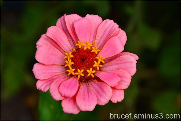 Zinnia  Pink Flower