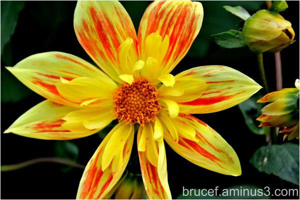 Yellow Orange Dahlia - Single Dahlia