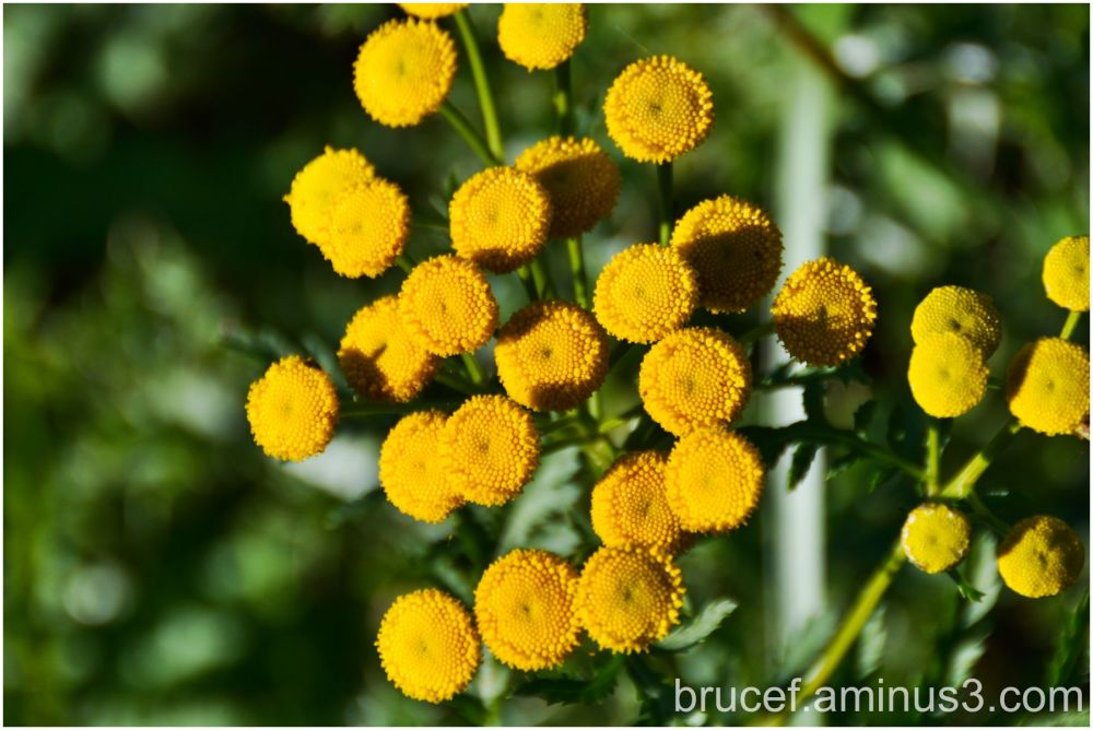 Garden Tansy  Green River Natural Resources
